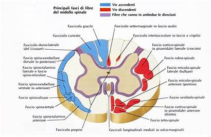 Midollo Spinale Fasci Vie Ascendenti Cordone Anteriore