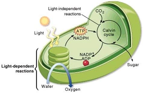 Where In The Chloroplast Do The Light Reactions Occur by Light Independent Reactions Photosynthesis