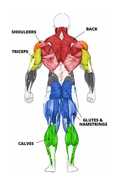 Muscle Equipment Groups Highlighted Strength Muscles Bodybuilder