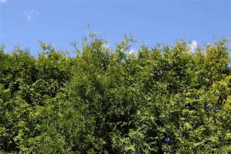 Sichtschutz Pflanzen Im Garten by Sichtschutz F 252 R Den Garten Pflanzen 187 Sch 246 Ne Ideen