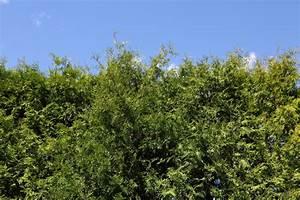 Welche Pflanzen Als Sichtschutz : sichtschutz f r den garten pflanzen sch ne ideen ~ Markanthonyermac.com Haus und Dekorationen