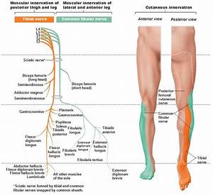 Tibial Nerve and Common Fibular (Peroneal) Nerve ...