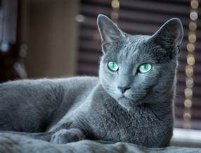 cats with blue 25 best ideas about russian blue cats on blue