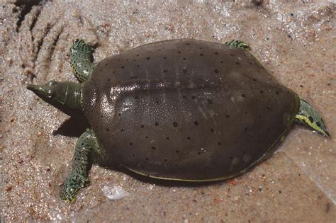 softshell turtle soft shell turtles video search engine at search com