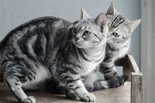 shorthair cat the american shorthair cat cat breeds encyclopedia