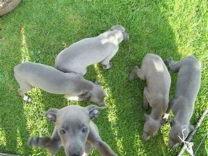 Whippet Puppies | Stafford, Staffordshire | Pets4Homes