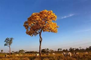 image of a family tree img 0121 brazil pantanal ipé tree end of blossom time yel