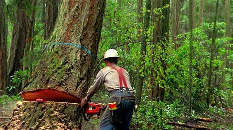 Medium Shot Zoom Out Man Cutting Tree In Forest With