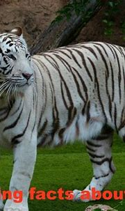 Facts about tigers for kids | Tiger facts, White bengal ...