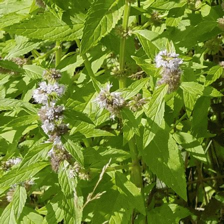 http://culturevie.info/tag-mentha-arvensis.html