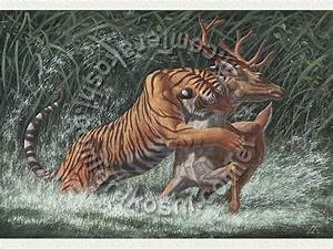 Bengal Tiger: Attacking a Barasingha, or Swamp Deer