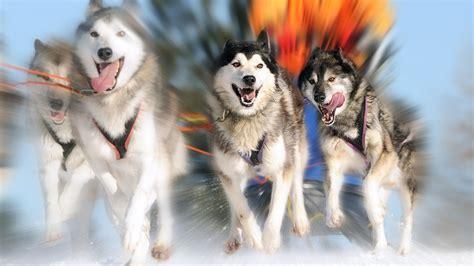 hundeschlittenfahrt ab  schlittenfahren wie die inuits