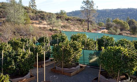 The Environmental Toll Of Growing Cannabis, Both Legally