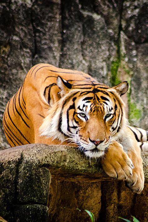 Malayan Tiger Fitria Ramli Amazing World Animals
