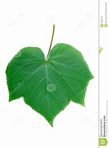 Green Leaf Diagram Stock Image  Image Of Studio  Colors