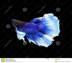 White And Blue Siamese Fighting Fish, Betta Fish Isolated ...