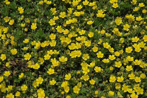 spring cinquefoil potentilla neumanniana  denver