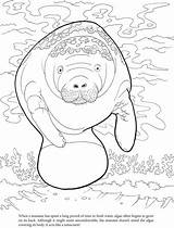 Manatee Coloring Algae Pages Manatees Sheets Printable Cute Crafts Dugong Dover Template Publications Adult West Patterns Drawings Doverpublications Animal Books sketch template