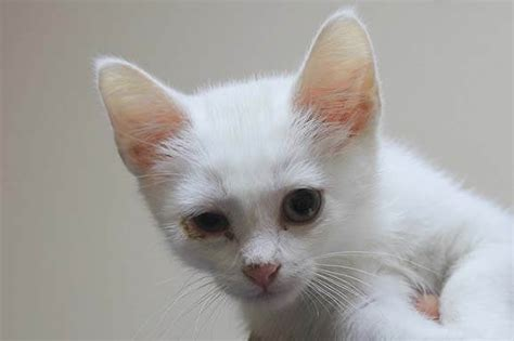 Conjunctivitis In Cats  How To Help Your Cat Go Through It