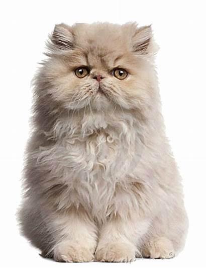 Gatto Persian Gourmet Cat Persiano Racconta Tuo