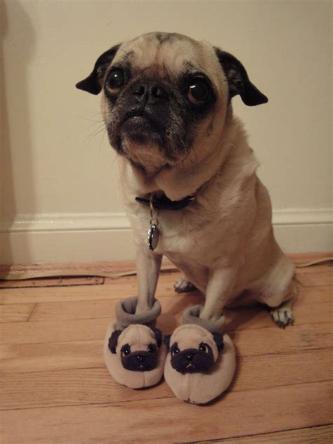 Wont Someone Pug  Ee  Rescue Ee   Already Flickr P O