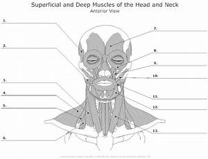 Muscles Of The Head And Neck Unlabeled