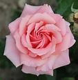 Rosa 'Tournament of Roses' - Wikipedia