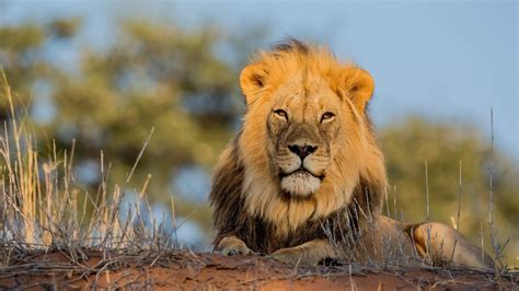 animals lions wallpaper allwallpaperin  pc en