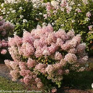 Hydrangea Paniculata Bobo : bobo panicle hydrangea hydrangea paniculata images ~ Michelbontemps.com Haus und Dekorationen