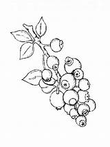 Blueberry Coloring Pages Berries Printable sketch template
