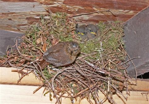 winter wren nest chickadees nuthatches creepers and
