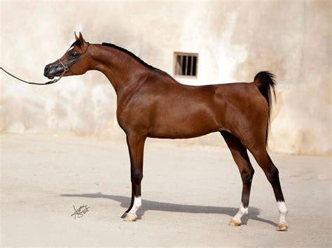 shaqab al marwan stallions stallion fadi arabian profile stud horse foals breeding qatar