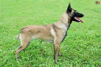 Belgian Malinois Dog Breed Shepherd Hereditary Conditions