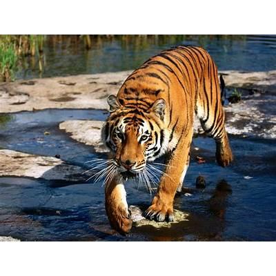 Bengal TigerWild Life Animal