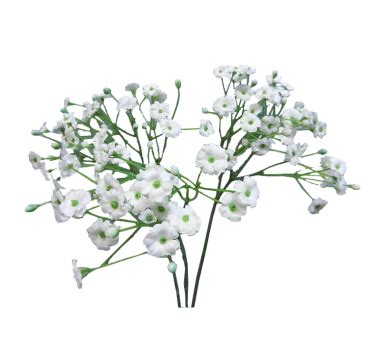 babys breath flowers png  pic