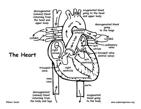 heart diagram coloring page  getcoloringscom