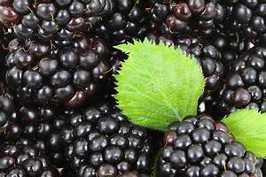 The Time Is Ripe To Plant Blackberries