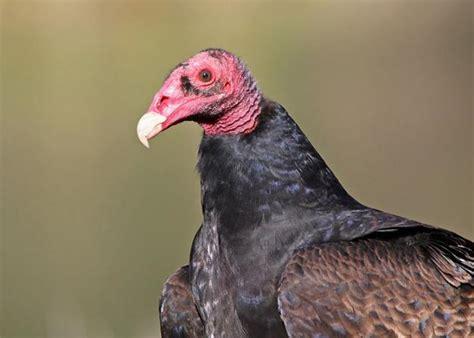 bird files turkey vulture has cast iron stomach the