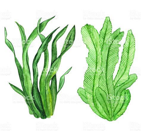 seaweed color algae clipart seaweed pencil and in color algae clipart