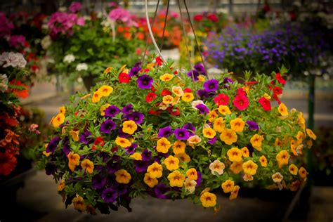 hanging flower baskets how to decorate with a hanging flower basket for mother s day van wingerden home garden center
