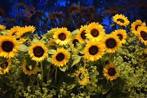 sunflower field  flowers  photo  pixabay