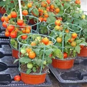 Plant Tomate Cerise : la culture de la tomate cerise en pot ~ Melissatoandfro.com Idées de Décoration