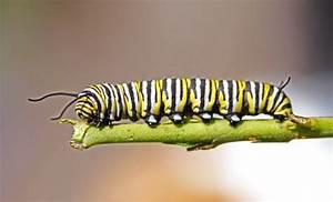 Diagram Caterpillar Body Parts