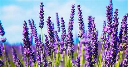 Lavender Plants Aspca Care Toxic Animal Non