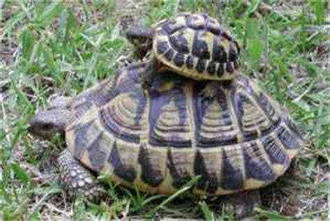 la tortue d hermann naturaliste2nimes