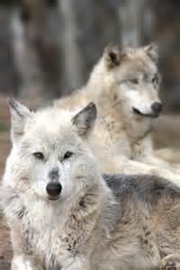 Beautiful Wolf Photography Tumblr