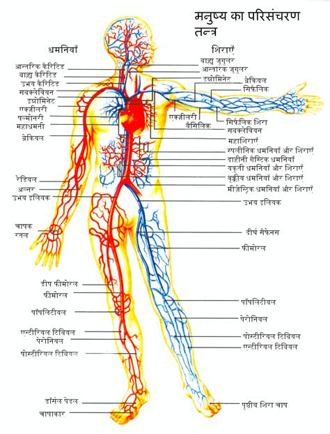 Diagram Of The Circulatory System Of Human Body  Anatomy Medical Pictures