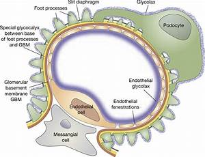 Revisiting The Determinants Of The Glomerular Filtration