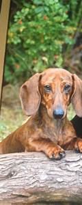 Smooth haired miniature dachshund | Scunthorpe ...