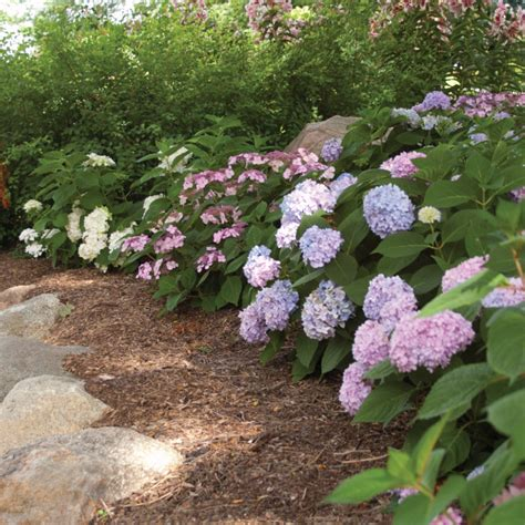 hydrangea border garden landscaping with hydrangeas garden with endless summer